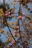 Kirschblüte-Rosablüte Lizenzfreie Stockfotos