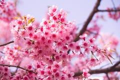 Kirschblüte-Rosablume stockfoto