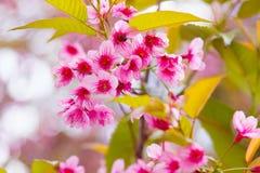 Kirschblüte-Rosablume stockfotos