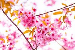 Kirschblüte-Rosablume stockbild
