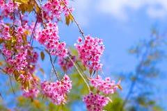 Kirschblüte-Rosablume stockbilder