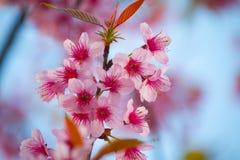 Kirschblüte-Rosablume stockfotografie