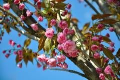 Kirschblüte-Rosablumen Lizenzfreie Stockfotografie