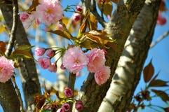 Kirschblüte-Rosablumen Stockfoto