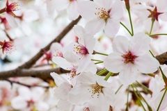 Kirschblüte - schöne Kirschblüte an der vollen Blüte in Japan Stockbilder