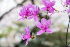 Kirschblüte - schöne Kirschblüte an der vollen Blüte in Japan Stockbild