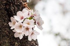 Kirschblüte - schöne Kirschblüte an der vollen Blüte in Japan Stockfoto