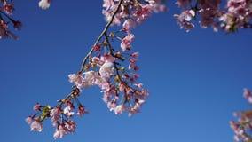 Kirschblüte in Taiwan Lizenzfreie Stockfotografie