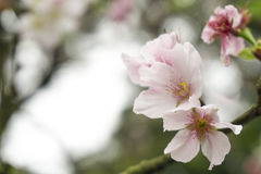 Kirschblüte in Taiwan Lizenzfreies Stockfoto