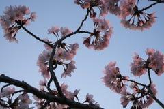 Kirschblüte an Takarano-Park an der Dämmerung in Tokyo Stockbild