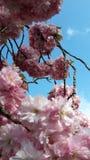 Kirschblüte und der blaue Himmel Stockbilder