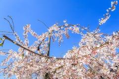 Kirschblüte und Gartenarbeit Stockbilder