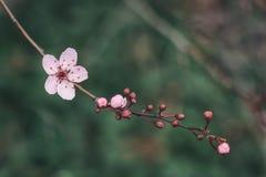 Kirschblüte und Knospennahaufnahme lizenzfreies stockfoto