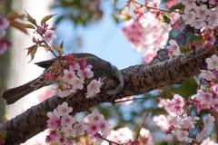 Kirschblüte und Vogel Lizenzfreie Stockfotos