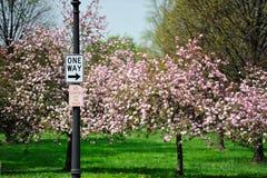 Kirschblüte und -zeichen Lizenzfreie Stockfotografie