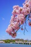 Kirschblüte von April in Washington, DC, Vereinigte Staaten stockfotos