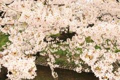 Kirschblüte von Gojo-Fluss Lizenzfreie Stockbilder