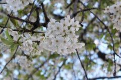 Kirschblüte, weiß Stockbild