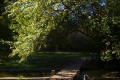 Kirschblüten über einer Brücke Lizenzfreies Stockfoto