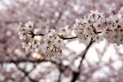 Kirschblüten Lizenzfreies Stockbild