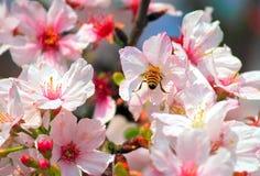 Kirschblüten Stockbild