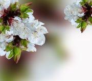 Kirschblüten Lizenzfreie Stockbilder