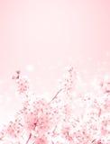 Kirschblüten stockfotos