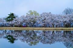 Kirschblüten. Lizenzfreies Stockfoto