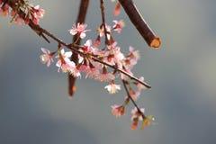 Kirschblüten Stockbilder