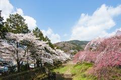 Kirschblüten stockfoto