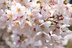 Kirschblüten stockfotografie