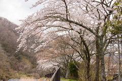 Kirschblüten lizenzfreie stockfotografie