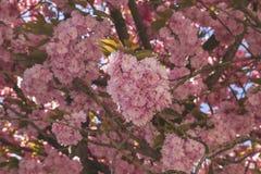 Kirschblüten-Abschluss oben stockfoto