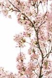 Kirschblüten auf einem weißen Hintergrund lizenzfreies stockbild