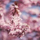 Kirschblüten auf Niederlassungen Stockfotos