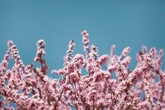 Kirschblüten auf Niederlassungen Lizenzfreie Stockbilder