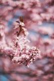 Kirschblüten auf Niederlassungen Stockfotografie