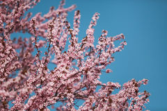 Kirschblüten auf Niederlassungen Stockbild