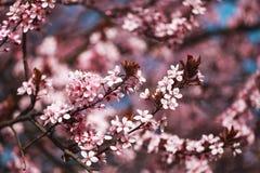Kirschblüten auf Niederlassungen Stockbilder