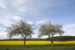 Kirschblüten-Bäume und Rapssamen-Feld Stockfoto