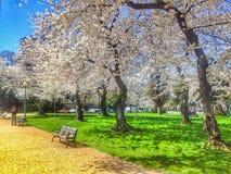 Kirschblüten D C Lizenzfreies Stockbild