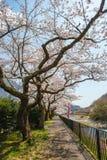 Kirschblüten an der Flussseite lizenzfreies stockbild