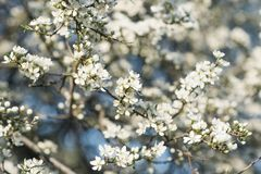 Kirschblüten in der vollen Blüte Stockfotografie