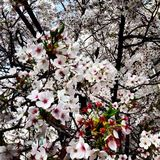 Kirschblüten in der vollen Blüte Lizenzfreie Stockbilder