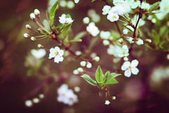Kirschblüten an einem Frühlingstag Lizenzfreie Stockfotos