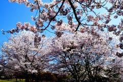 Kirschblüten entlang dem Verdammungssee/dem japanischen Frühling Stockfotografie