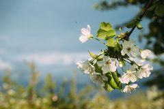 Kirschblüten, Frühling, blühende Gärten, Makrophotographie, Sonnenuntergang Stockfotografie