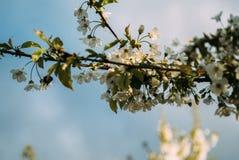 Kirschblüten, Frühling, blühende Gärten, Makrophotographie, Sonnenuntergang Stockfotos