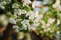 Kirschblüten, Frühling, blühende Gärten, Makrophotographie, Sonnenuntergang Stockbild