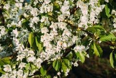 Kirschblüten, Frühling, blühende Gärten, Makrophotographie, Sonnenuntergang Stockfoto